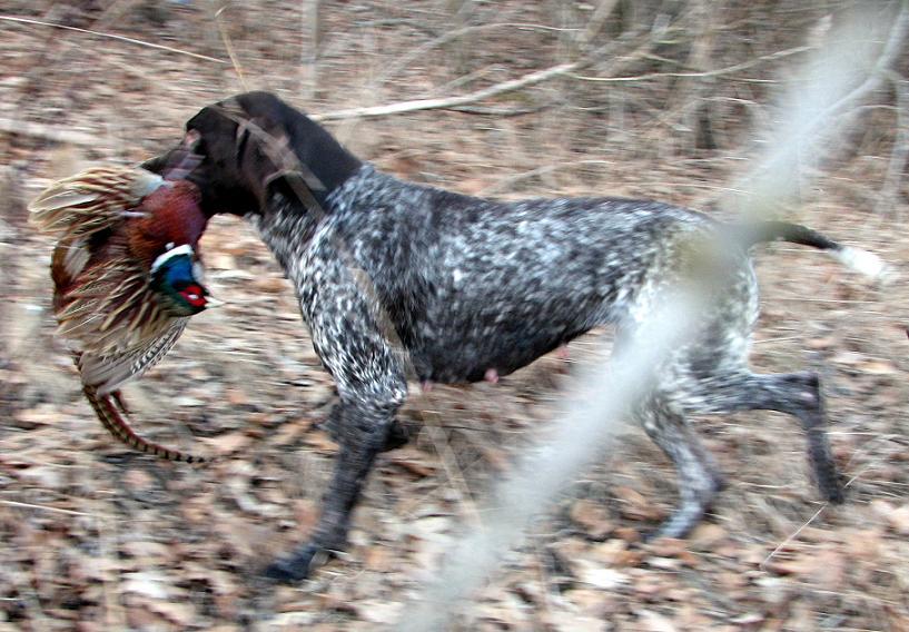 Pies myśliwski - pies polowy